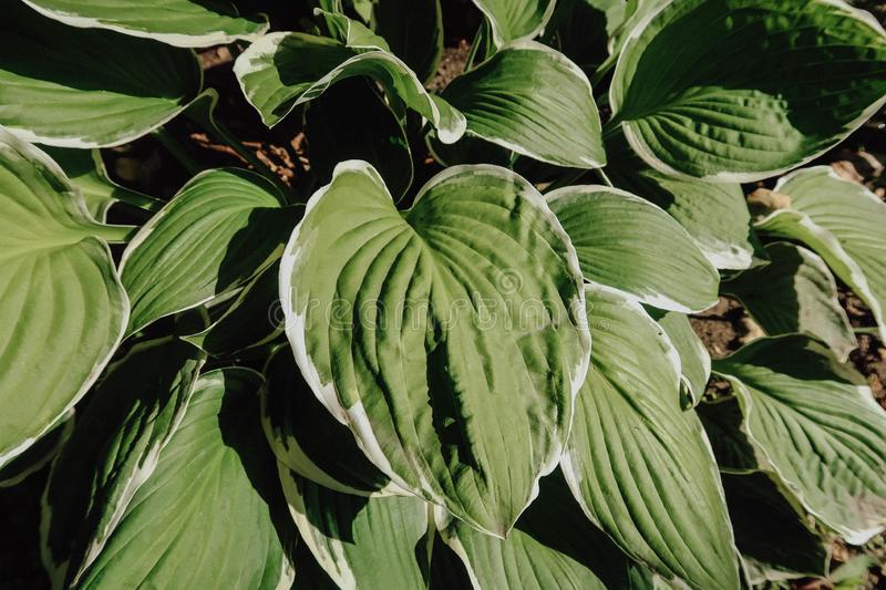 Top view of the green leaves of the hosts. Top view of the green leaves of the hosts royalty free stock images