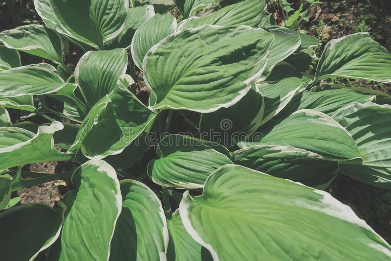 Top view of the green leaves of the hosts.  royalty free stock photography