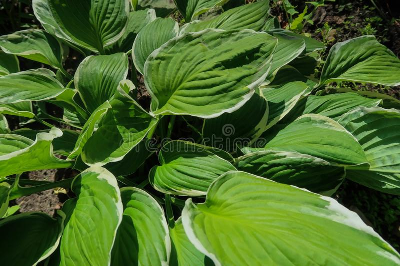 Top view of the green leaves of the hosts. Top view of the green leaves of the hosts stock photography
