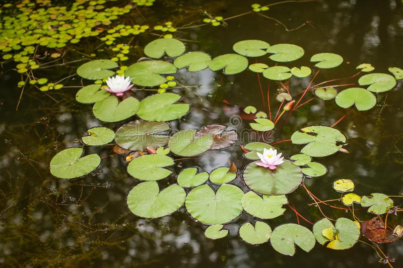 Top View Green Leaves Lotus or Hardy Water Lily Plant of Nymphaeaceae family on dark surface of pond stock photo