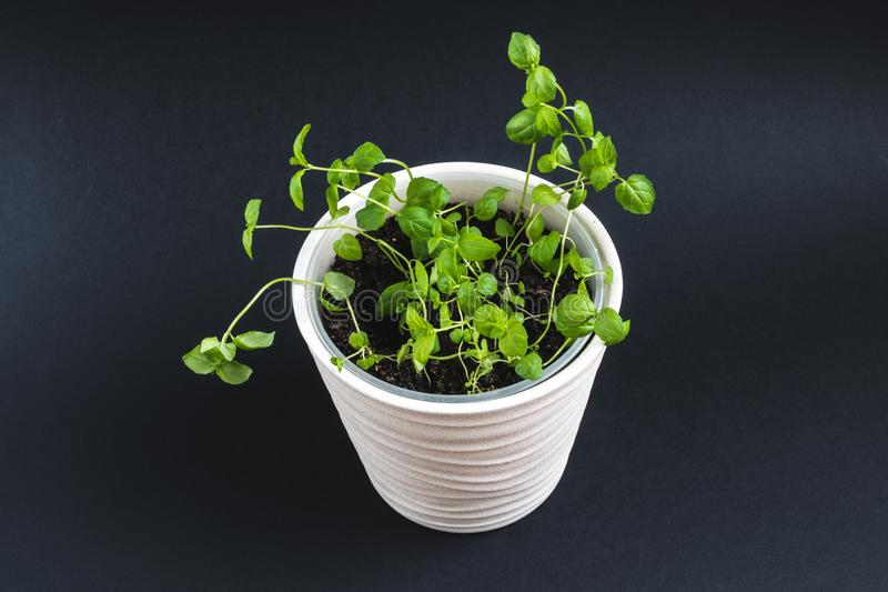 Top view on green mint stems in apot on a dark background royalty free stock photos