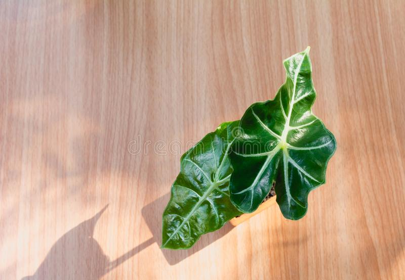 Top view green potted plant, trees in the pot on wooden table royalty free stock images