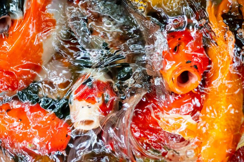 Top view The group of Japan Colorful koi carp fish swimming in Beauty nature underwater royalty free stock photos