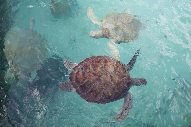 Sea turtles from above, swimming on the surface of wave textured water stock image