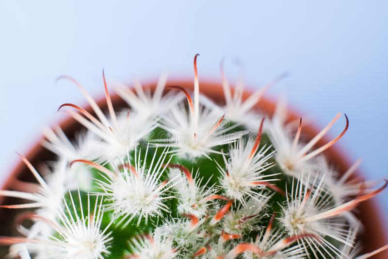 Top view of half part of round flower pot with Echinocereus cactus with white thorns. royalty free stock photo