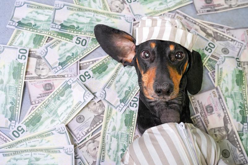 Top view of a happy dog breed dachshund, black and tan, lies on a pile of counterfeit money dollars in a criminal costume.  stock photography
