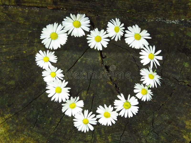 Top view. Heart shaped daisy flowers bouquet on tree stump background. Bellis perennis. Spring summer white flower. Suitable for greeting card, St Valentines stock photos