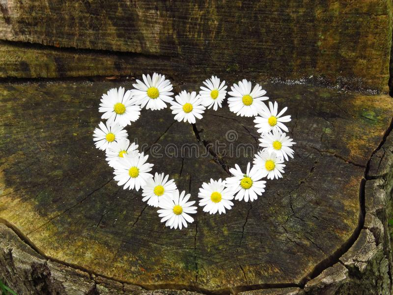 Top view. Heart shaped daisy flowers bouquet on wood background. Bellis perennis. Spring summer white flower. royalty free stock photography