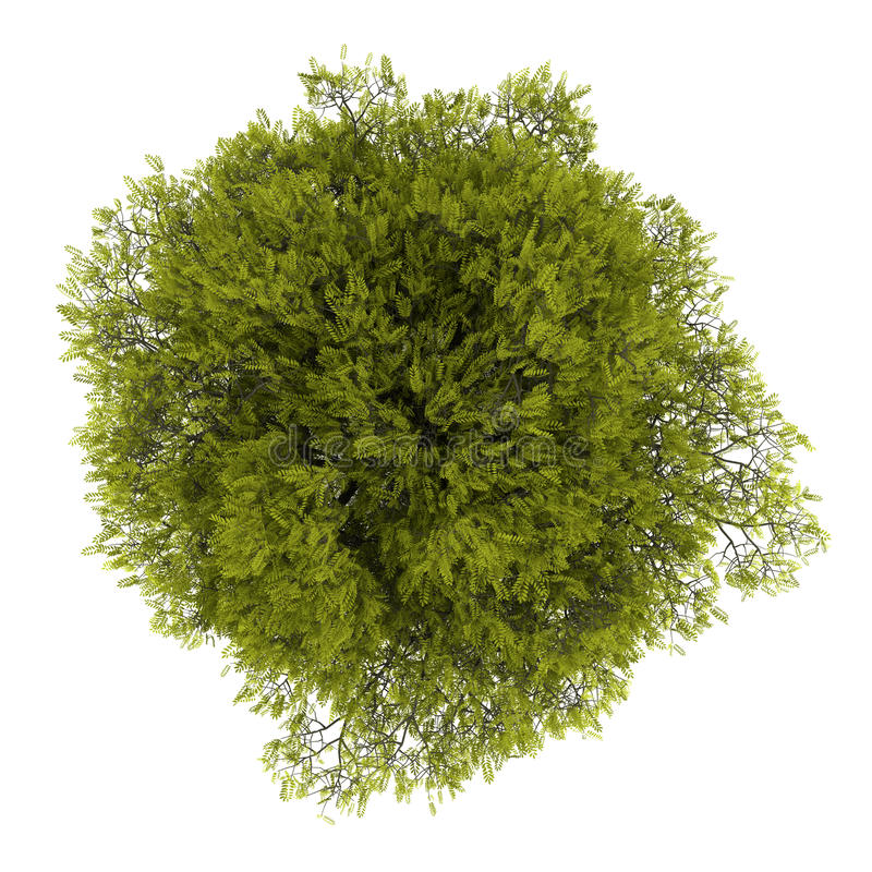 Top view of honey locust tree isolated on white. Background stock illustration