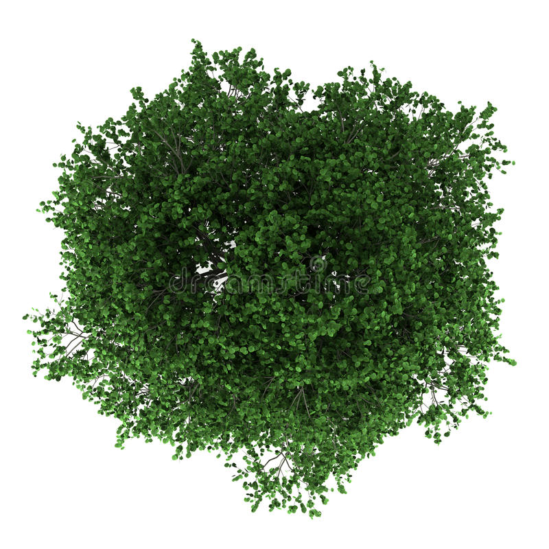 Download Top View Of Hornbeam Tree Isolated On White Royalty Free Stock Photography - Image: 26402187