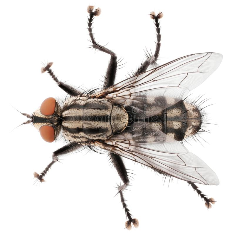 Top view of house fly isolated on white background royalty free stock photography