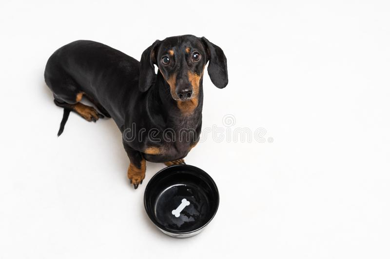 Top view on hungry dog dachshund, black and tan, waiting and looks up to have his bowl filled food isolated on gray background royalty free stock images