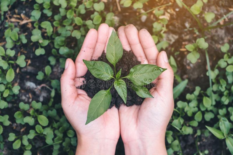 Top view image of hands holding soil and small tree to glow. With green background royalty free stock image