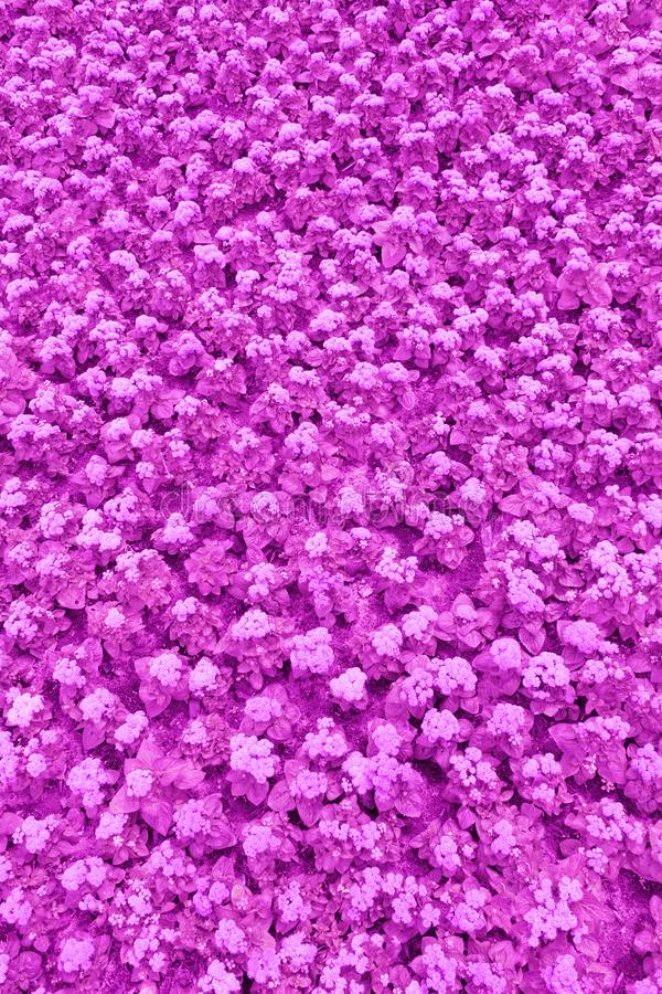 A lawn with purple ageratum flowers texture, background, toned. Top view of a lawn with purple ageratum flowers texture, background, toned stock photo