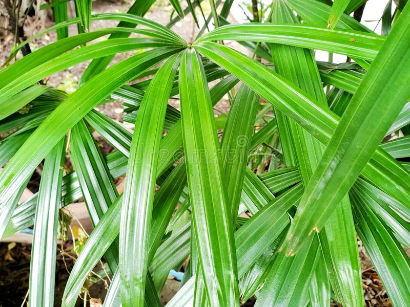 Top view of leaves saw palmetto. Abstract leaves texture. Natural green wallpaper concept. Ecological Concept, sabal palm stock image