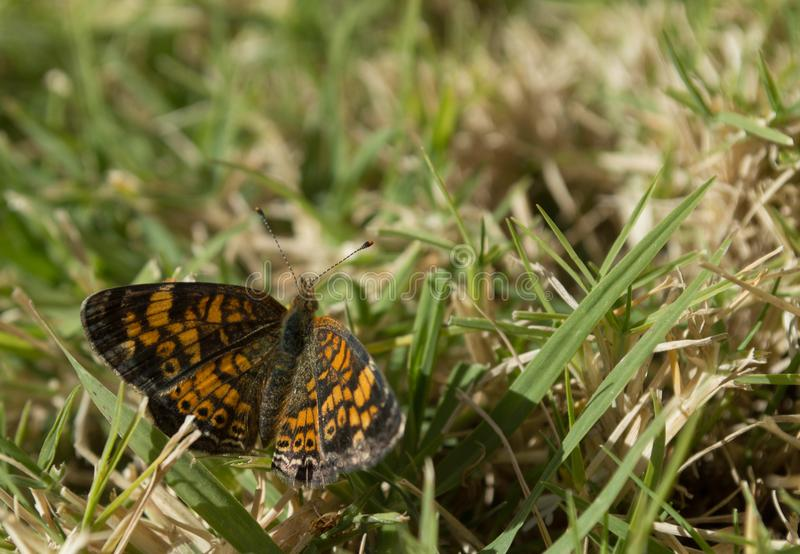 Top view, Macro photo of a small butterfly that is sucking nectar from a small wildflower. Top view, Macro photo of a black and orange butterfly that is royalty free stock image