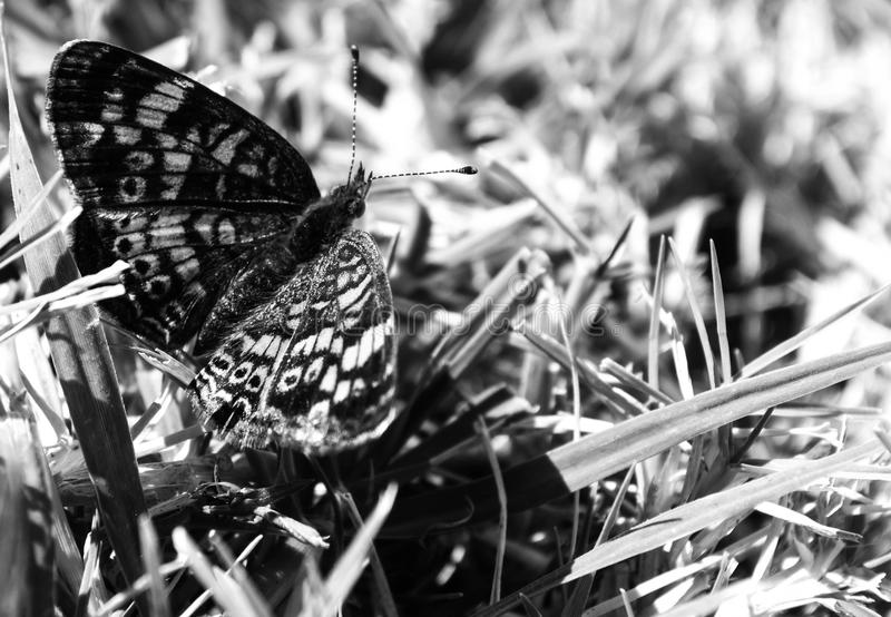 Black and white photo of top view, Macro photo of a small butterfly that is sucking nectar from a small wildflower. Top view, Macro photo of a black and orange stock images