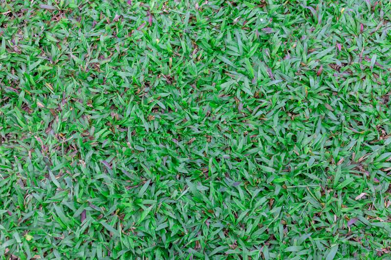 Top view Mid-high green lawn texture. Nature green grass in the garden, Nature background royalty free stock image