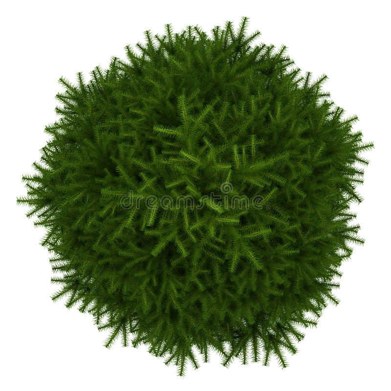 Top View Of Momi Fir Tree Isolated On White Royalty Free Stock Photo