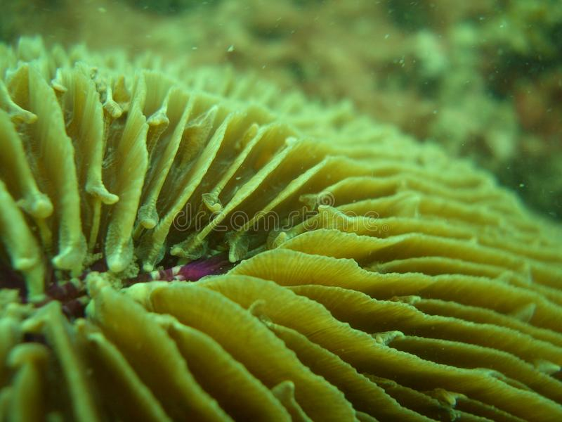 Download Top View Of Mushroom Coral (Fungia Fungites) Stock Image - Image: 11749191