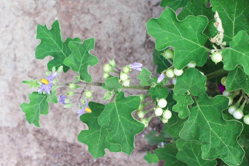 Top view nature herbal plant green solanum indicum tree with small fruits size and purple flower  , full of thorn on stem and leaf. Close up Top view nature royalty free stock photo