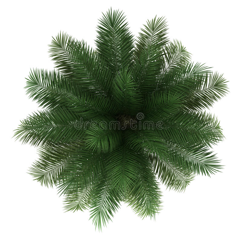Free Top View Of Chilean Wine Palm Tree Isolated Stock Images - 26366674