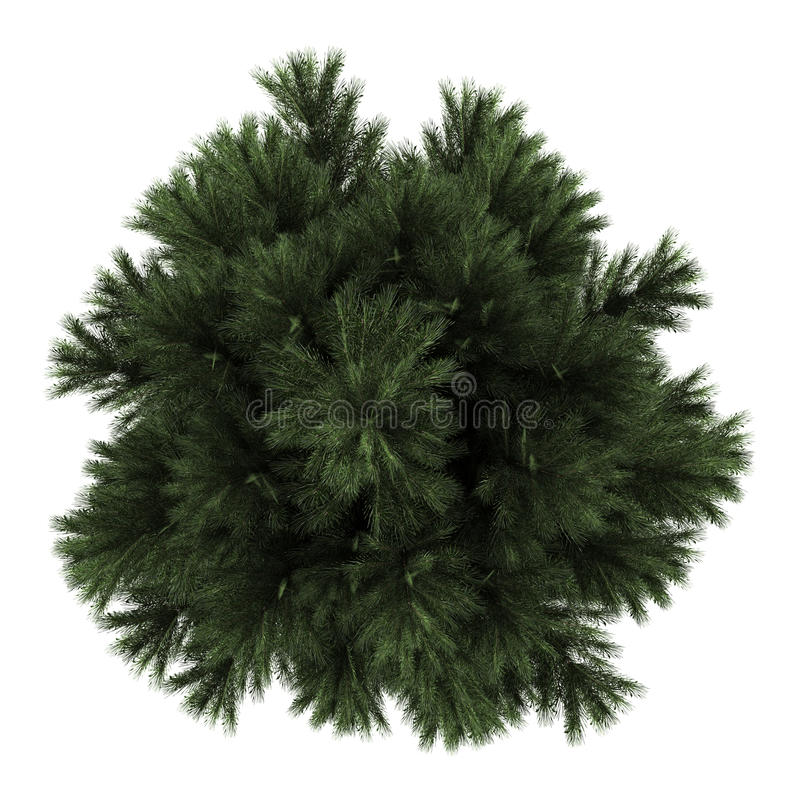 Free Top View Of European Black Pine Tree Isolated Royalty Free Stock Images - 26708729