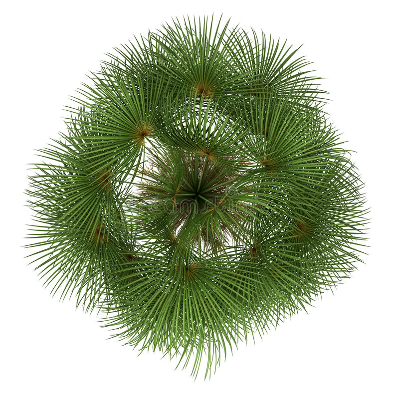 Free Top View Of Mexican Fan Palm Tree Isolated Stock Images - 26454394