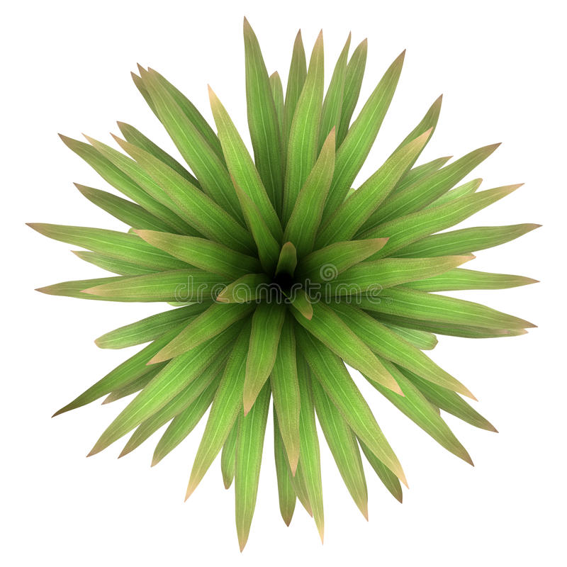 Free Top View Of Mountain Cabbage Palm Tree Isolated Stock Photos - 26113093