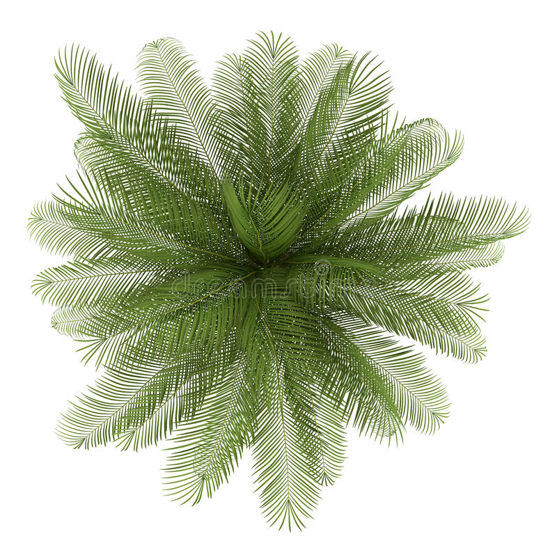Free Top View Of Oil Palm Tree Isolated On White Stock Photography - 26402142