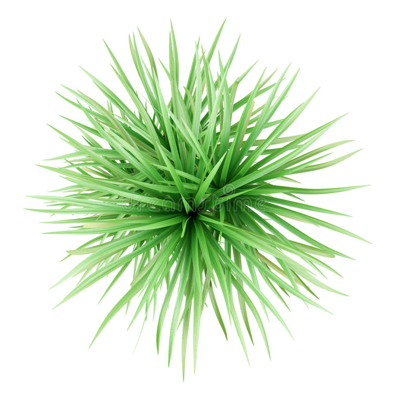 Free Top View Of Potted Dracena Palnt Isolated On White Royalty Free Stock Photos - 66351428
