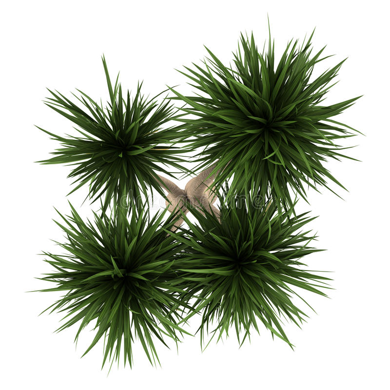 Free Top View Of Yucca Palm Tree Isolated On White Stock Image - 26228481