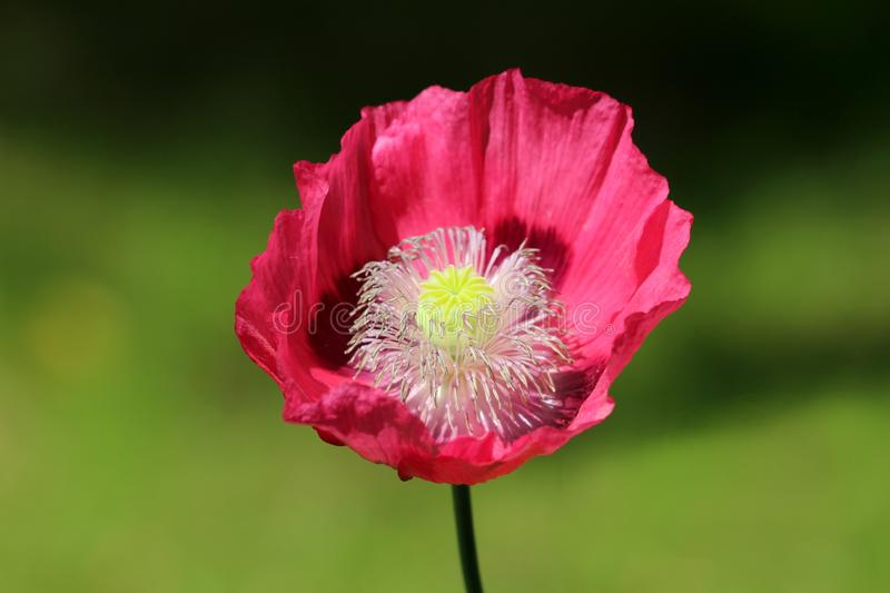 Top view of Opium poppy or Papaver somniferum annual flowering plant with open blooming red flower and green center made of. Top view of Opium poppy or Papaver stock image