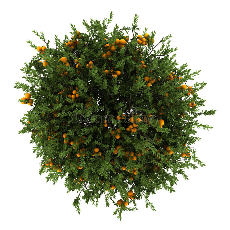 Top view of orange tree isolated on white vector illustration
