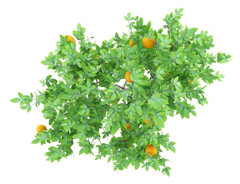 Top view of orange tree with oranges isolated on white vector illustration