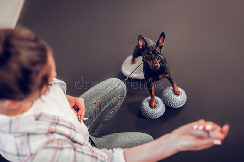 Top view of owner showing food to her cute dark dog stock photography