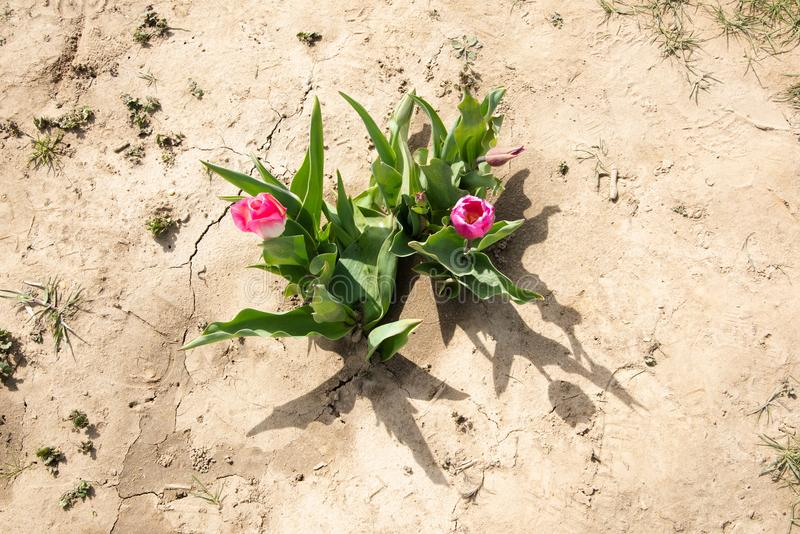 Top view of pair of pink tulips stock photo