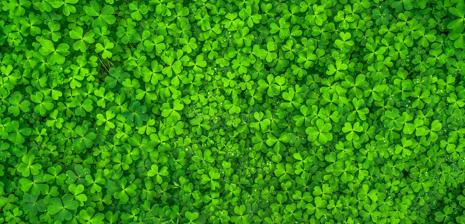 Top View Photo of Clover Leaves royalty free stock photos