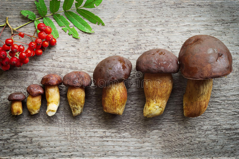 Top view of pine bolete (Boletus pinophilus) mushrooms collection arranged in row from small to big. royalty free stock photos