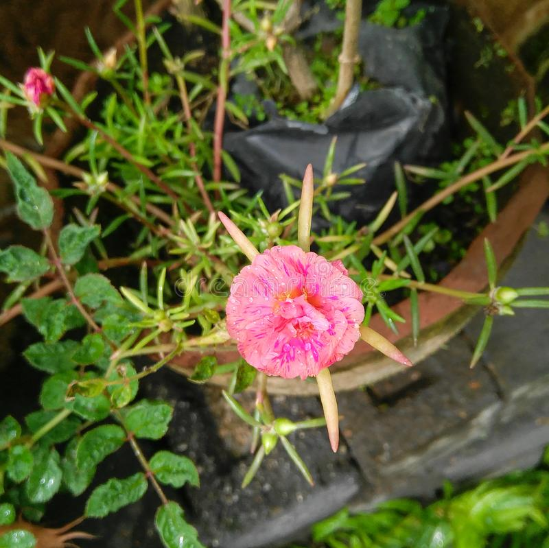 Top view of Pink moss rose flowers blooming in the garden, flowering plant, cement stairs background. Flora, floral, green, leaves, plantation, horticulture stock images
