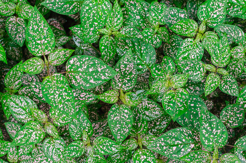 Top view of Polka dot plant (Hypoestes phyllostachya). Selective stock images