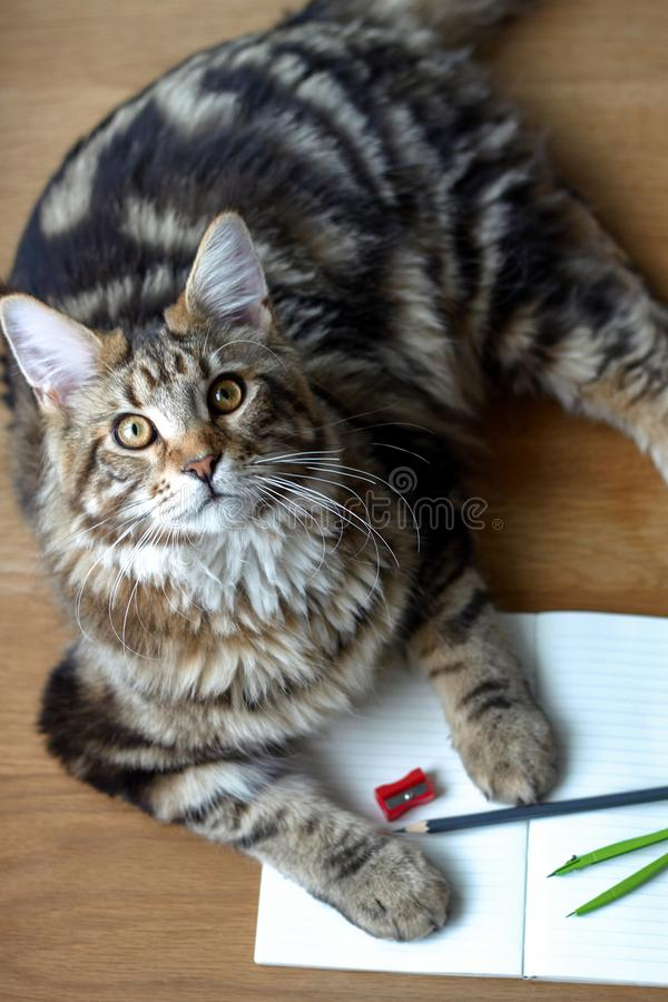 Top view portrait of Maine Coon cat lies on a wooden table on an open notebook and pencil, sharpener, pair of compasses, selective stock photography