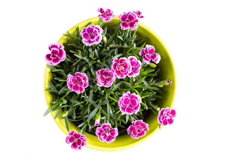 Top view of purple mini carnation dianthus in colorful flower pot. Top view of purple Berry mini carnation dianthus flower with water drops in the colorful stock photo