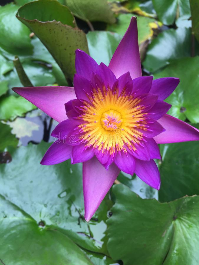 Purple water lily. Top view of purple water lily blooming royalty free stock photography