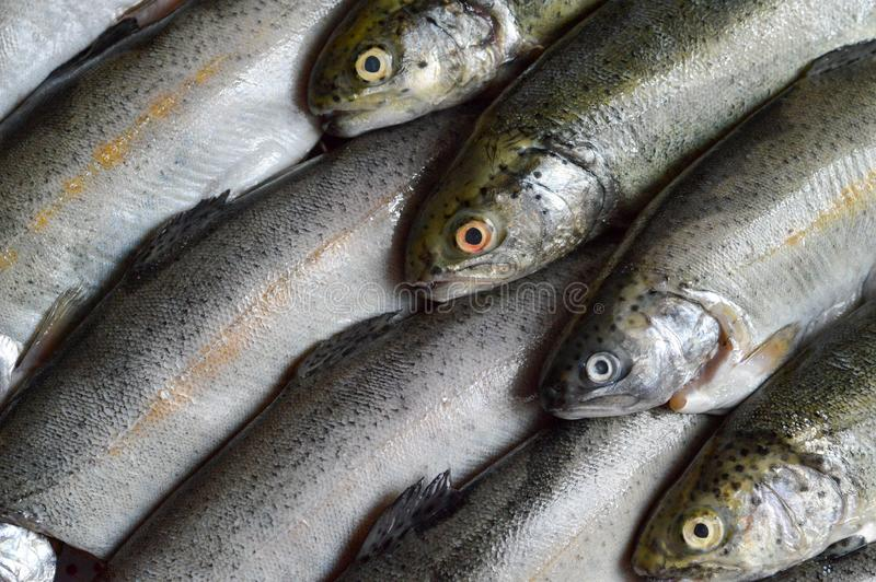 Raw trout fish stock image