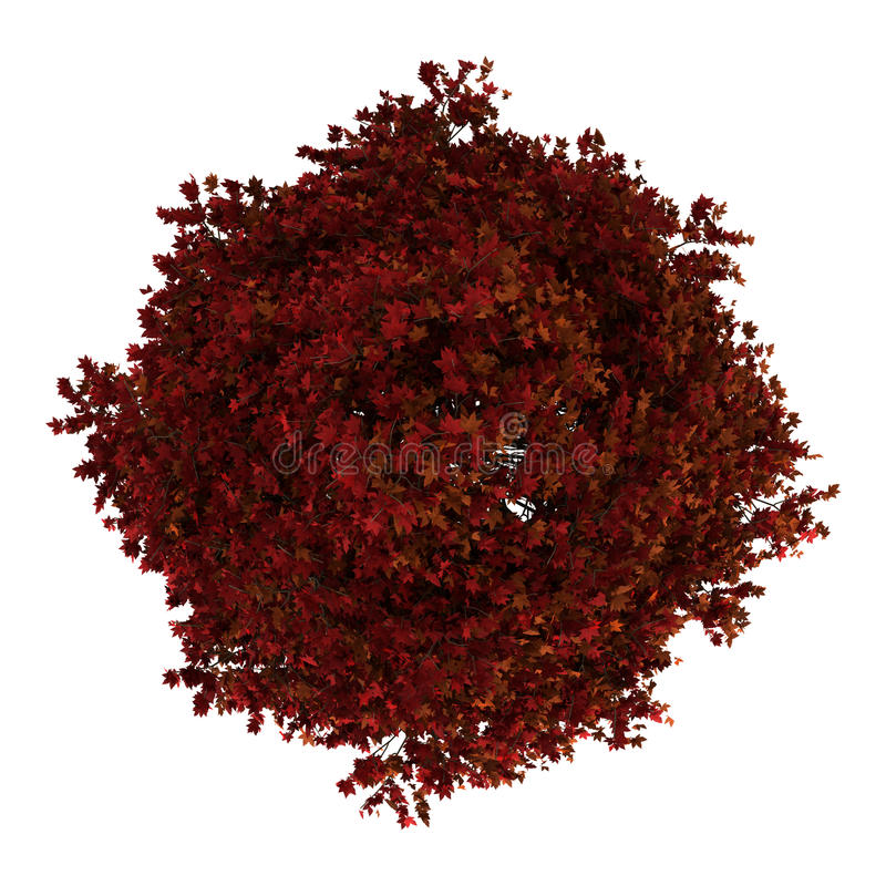 Top view of red american sweetgum tree isolated