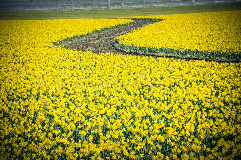 Top view s-curved winding path in daffodil farm at Skagit Valley royalty free stock photography
