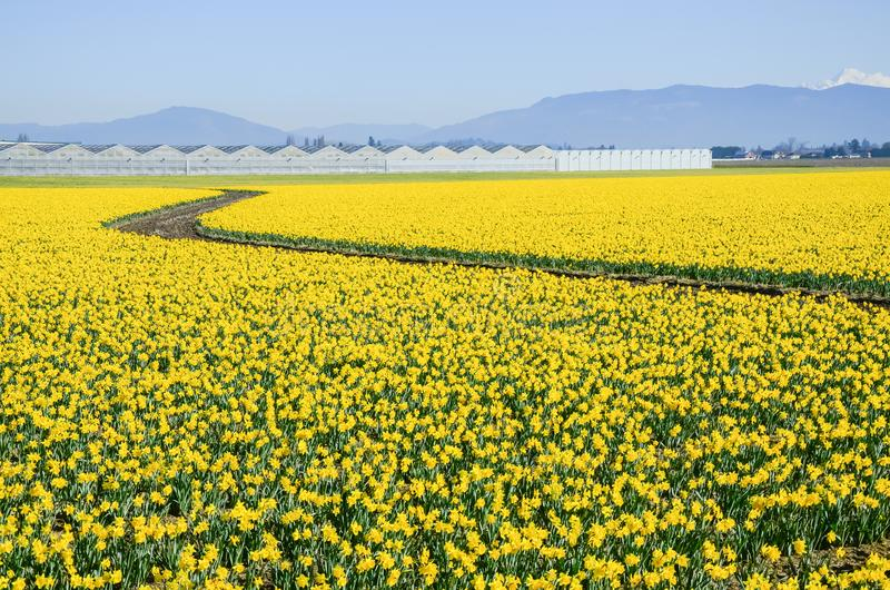 Top view s-curved winding path in daffodil farm at Skagit Valley. WA, USA. Springfield of bright yellow narcissus flower blossom. Row of green houses and snow stock photo