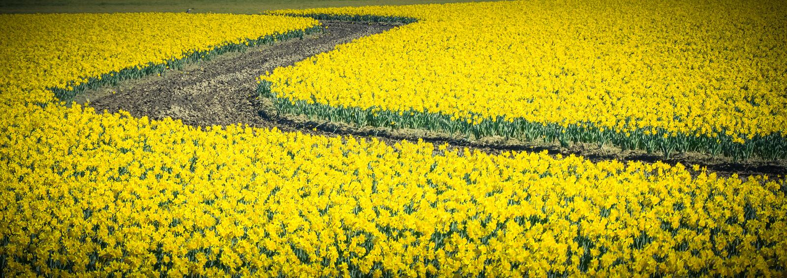Top view s-curved winding path in daffodil farm at Skagit Valley. WA, USA. Springfield of bright yellow narcissus flower blossom. Nature and agriculture stock images