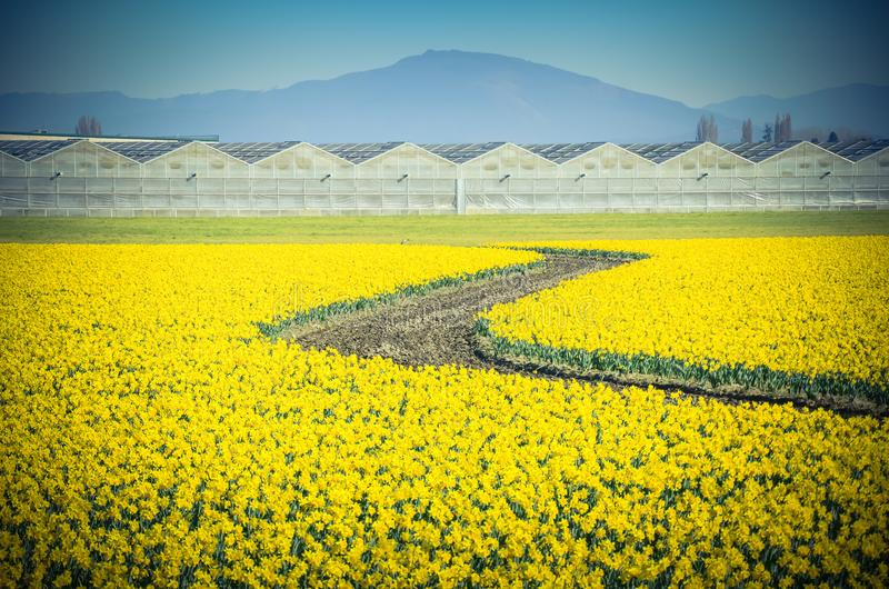 Top view s-curved winding path in daffodil farm at Skagit Valley. WA, USA. Springfield of bright yellow narcissus flower blossom. Row of green houses and royalty free stock images